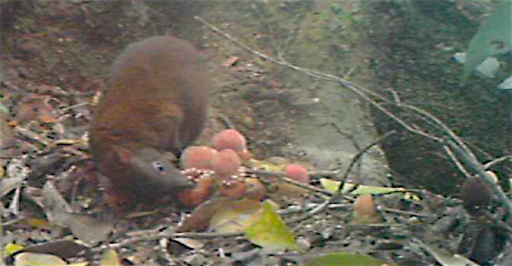 A Musky rat-kangaroo feeding on Balanophora fungosa