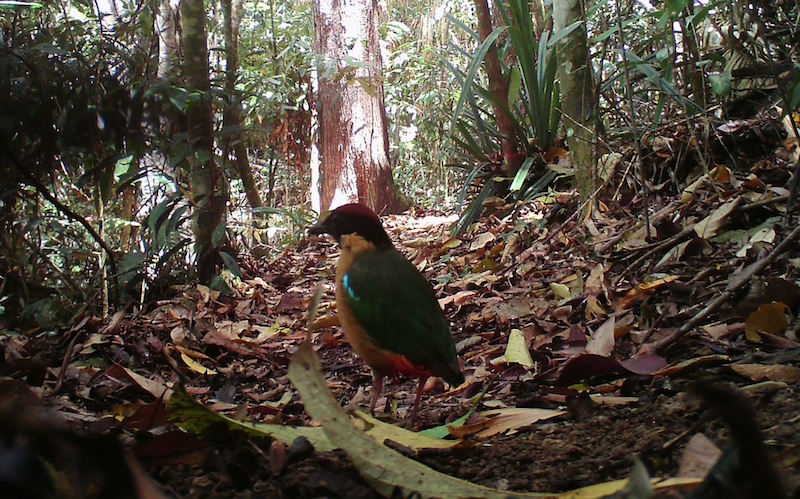 Noisy Pitta in the Wet Tropics World Heritage Area, Queensland