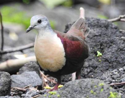 Santa Cruz Ground-dove, a research project by Dr Ray Pierce